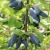 Голубе веретено - 1-річна