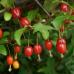 Гумі Сахалінський (лох багатоквітковий) - 3-річний - 90 - 100  см