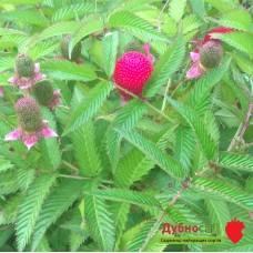 Мяо мяо (малина розолистна)