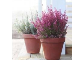 Декоративні рослини